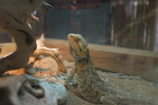 Snooty lizard.