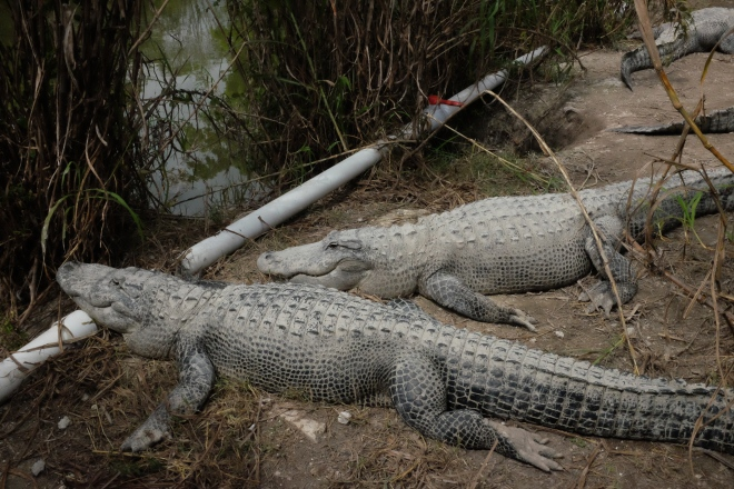 Dinosaur-looking gators.